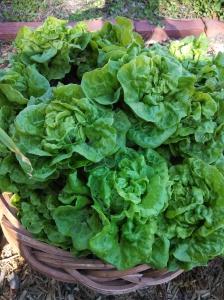 Tom Thumb lettuce harvest