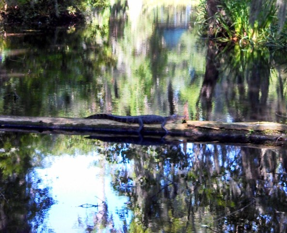Alligator resting on a fallen tree