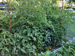 Tomatoes unpruned