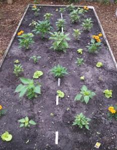 Lettuce among hot peppers