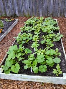 Squash & radishes