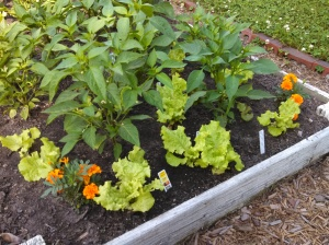 Black Seeded Simpson lettuce among my peppers