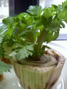 Celery grown from cutting ~ almost ready to transplant