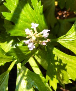 Celery flowering on second year plant
