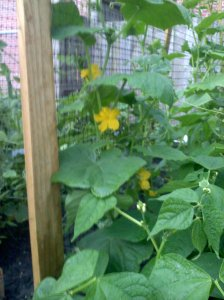 Cucumber climbing on trellis
