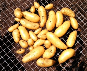 Fingerling potato harvest ~ one bucket's worth
