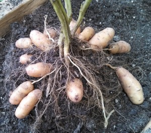 Fingerling potatoes at harvest