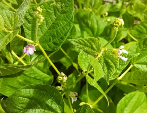 Green bean flowers