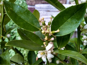 Key lime blossoms & fruit