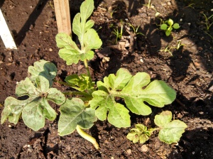 Malali watermelon ~ 5 weeks post planting
