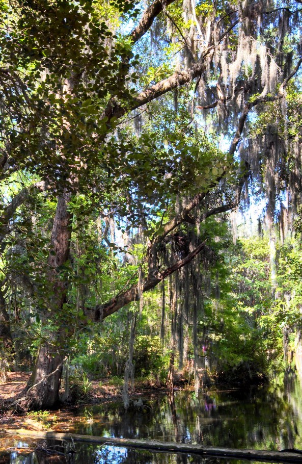 Tree covered with Spanish moss at Magnolia Plantation