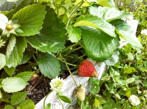 Ripening strawberry