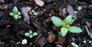 Summer savory ~ 3 weeks post planting