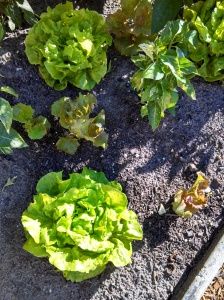 Tom Thumb & Red Sails lettuce