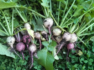 Watermelon radish harvest ~ end of May