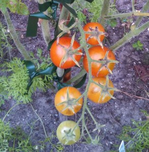 Blue tomatoes ripening