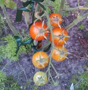Blue tomatoes ripening