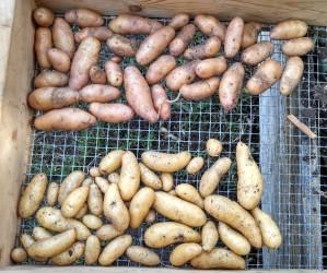 Fingerling potato harvest