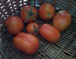 Roma & blue tomato harvest