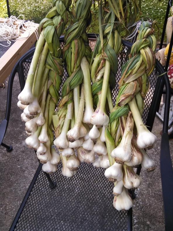 Garlic braids ready to cure