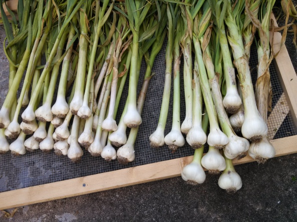 Garlic cleaned and trimmed