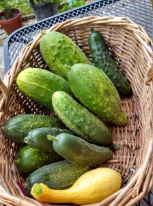Pickling & green cucumbers and yellow squash