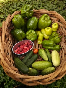 Green bell peppers, pepperoncini peppers, pickling & green & white cucumbers, raspberries, and Riesentraube tomato harvest