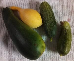 Zucchini, yellow squash, pickling cucumbers