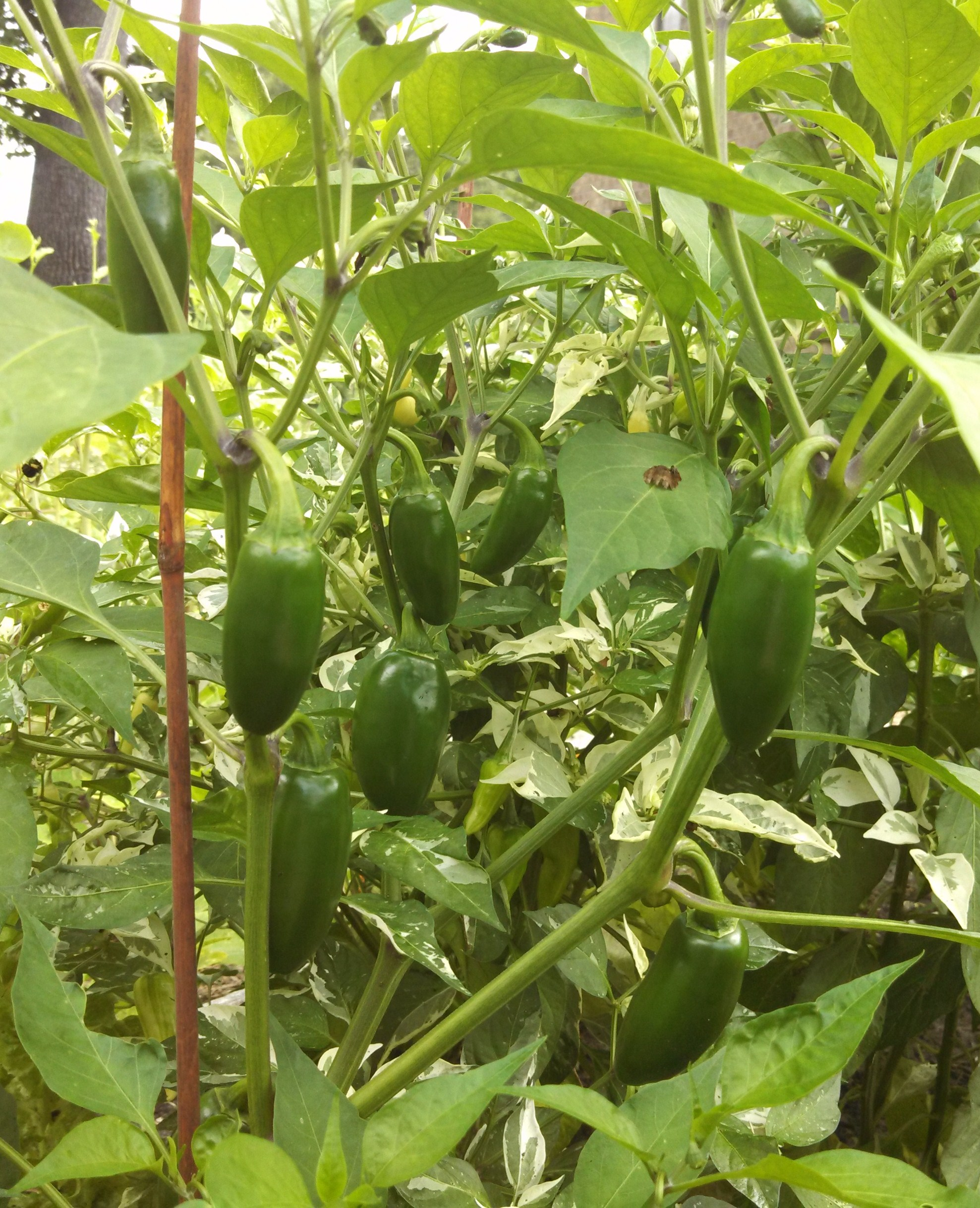 how to grow jalapenos inside
