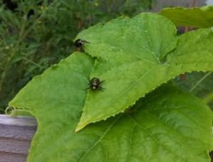 Japanese beetles on cucumber leaf