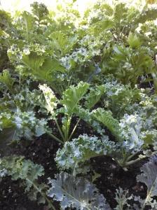 Kale ~ mid June harvest time