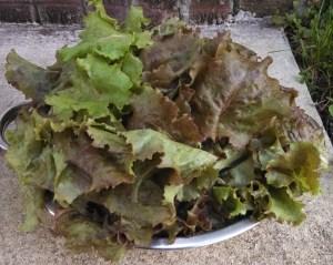 Lettuce harvest ~ in June!