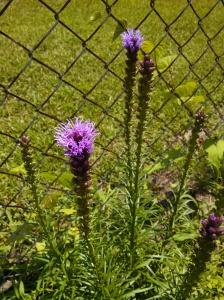 Liatris blooming