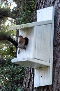 Female Eastern bluebird ~ at my birdhouse