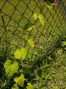 Moonflower climbing the fence