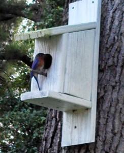 Male Eastern bluebird ~ at my birdhouse