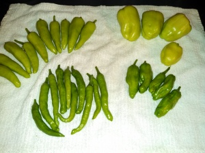 Cross-pollinated pepperoncini ~ grown from same seed packet