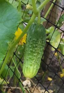 Russian pickling cucumber