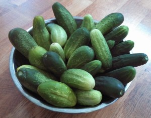 Cucumbers ~ Time to pickle!
