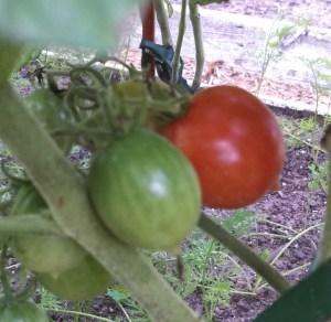 Riesentraube tomatoes ripening