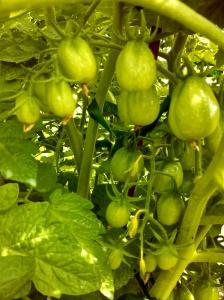 Roma tomato clusters