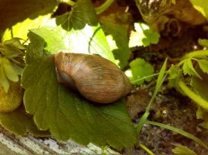 Land snail on my strawberries