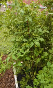 Roma tomato plant leaning over after Tropical Storm Andrea