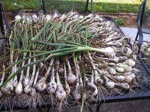 Texas Granex onions drying