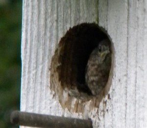 Baby Eastern Bluebird in my birdhouse