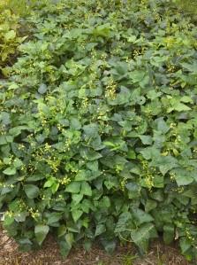 Henderson lima beans still flowering
