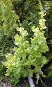 Black Seeded Simpson lettuce bolting