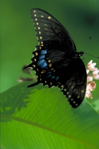 Black Swallowtail Butterfly Photo credit: U.S. Fish & Wildlife Service