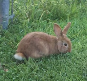 Bunny rabbit in my yard