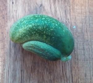 Wild pickling cucumber